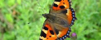 Zwaar jaar voor de vlinder